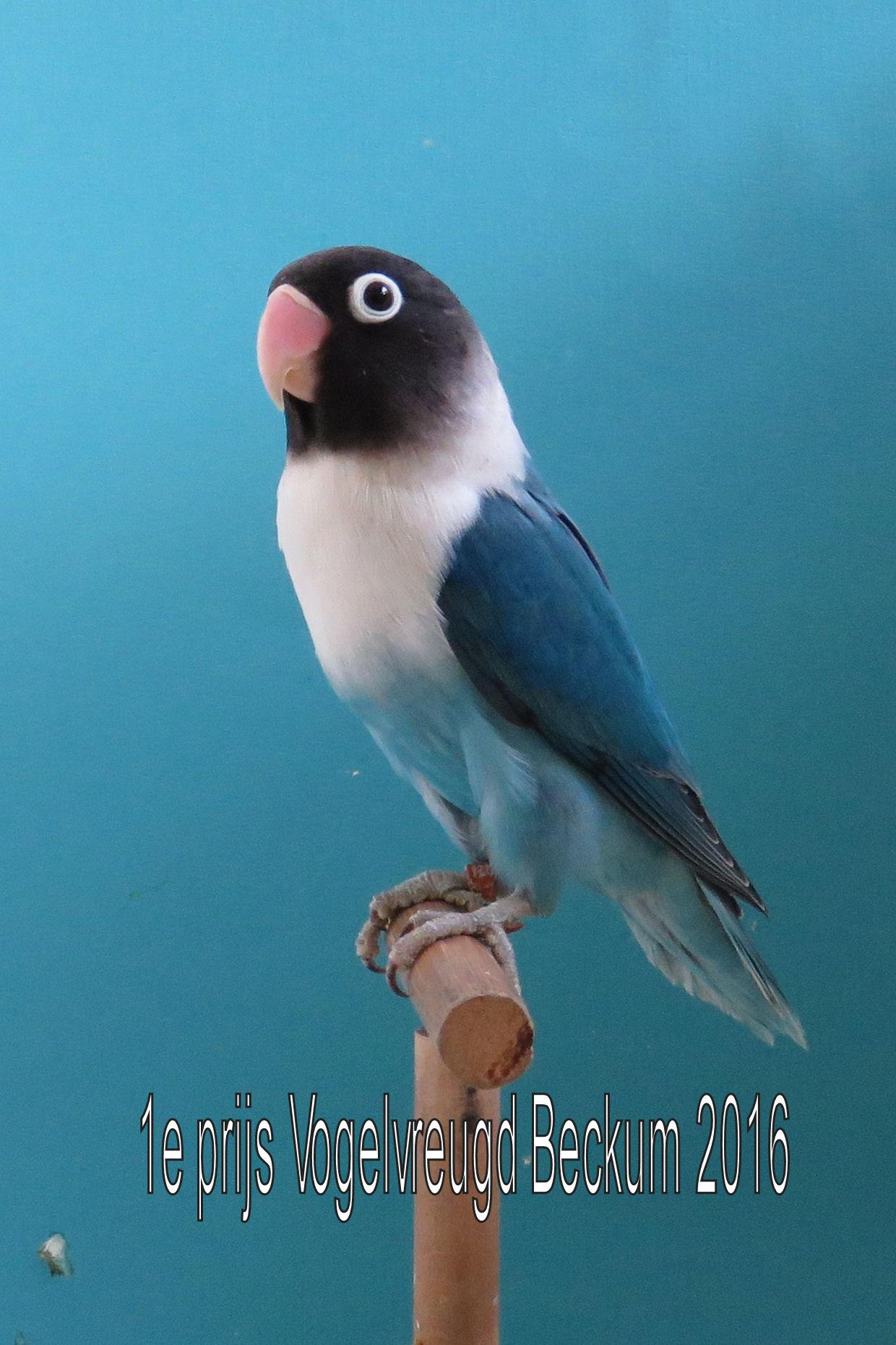 VogelvreugdBeckum2016 Agaponis blauw 1e