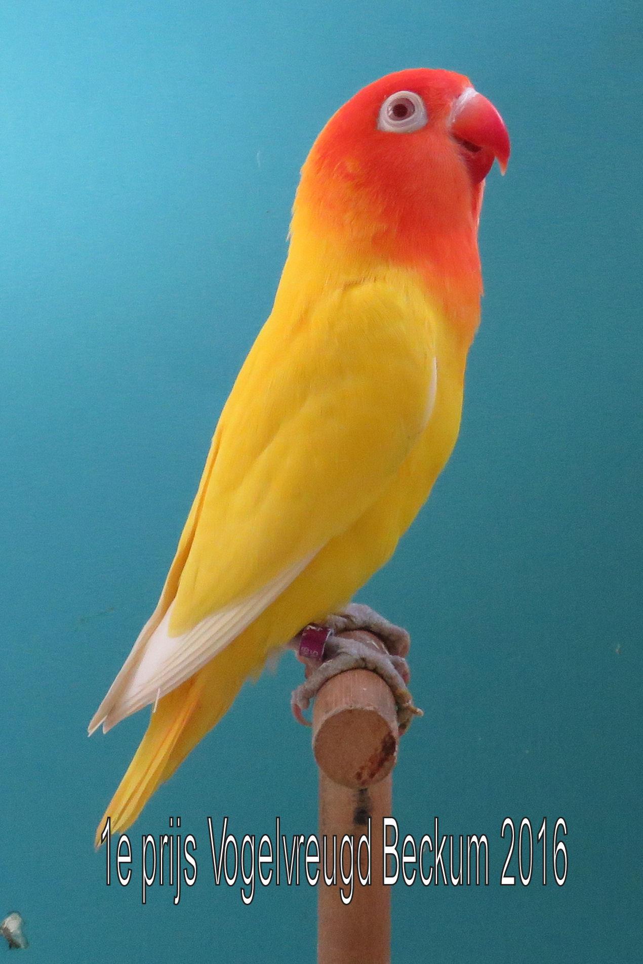 VogelvreugdBeckum2016 Agaponis geel 1e