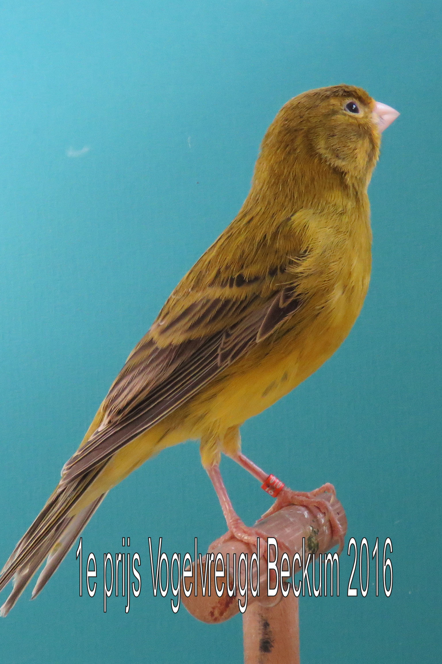 VogelvreugdBeckum2016 Olijf 1e