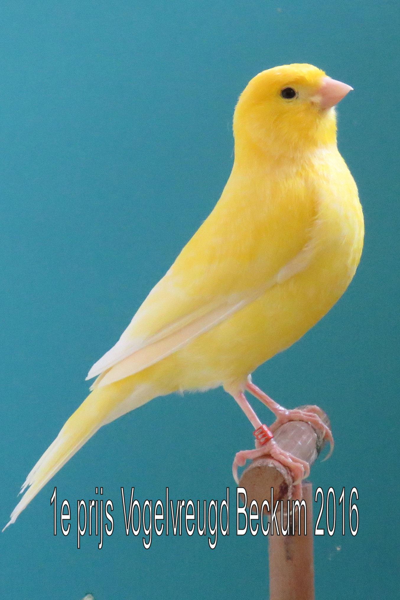 VogelvreugdBeckum2016 Wit geel 1e