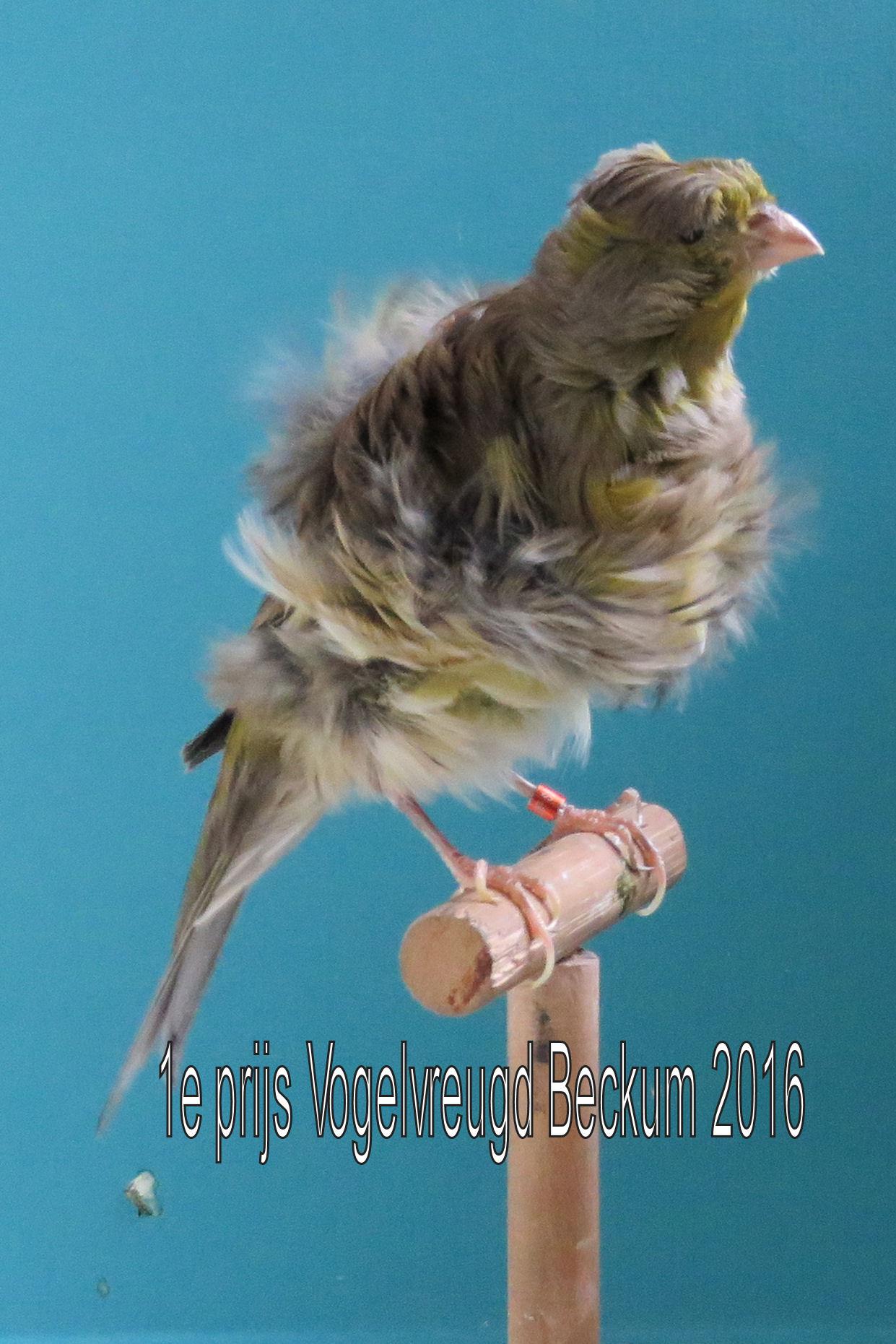 VogelvreugdBeckum2016veren 1e