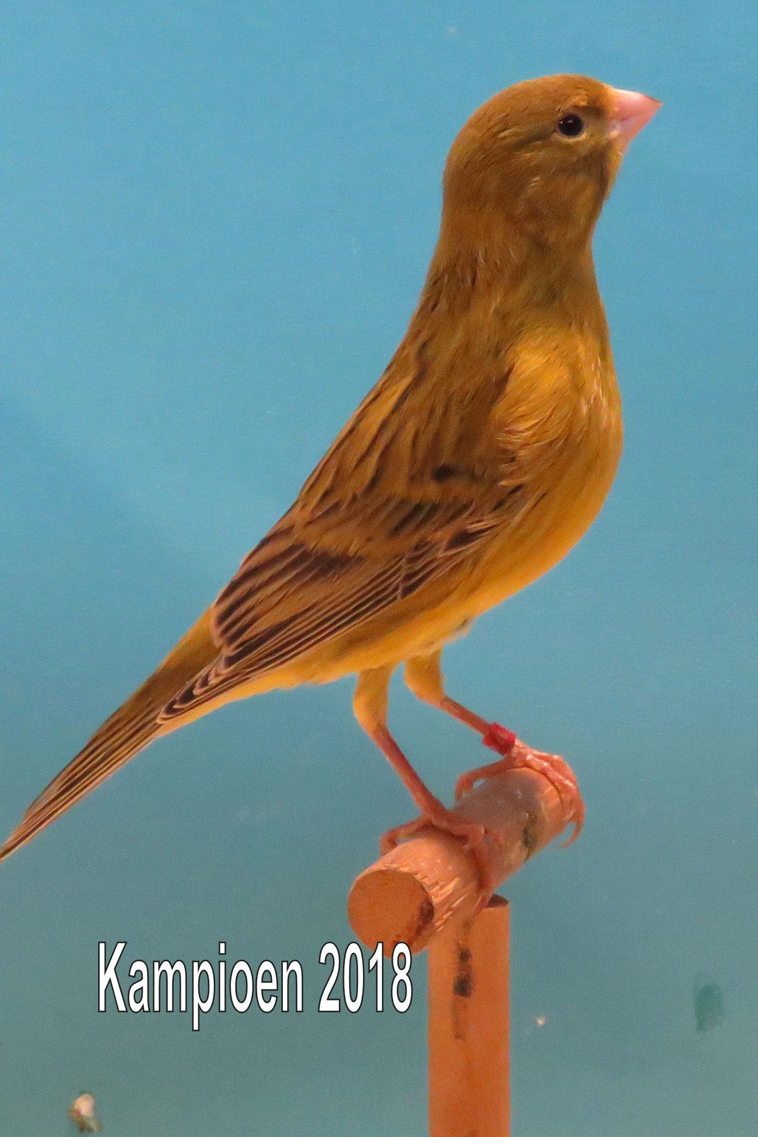 VogelvreugdBeckum2018 agaat geel intensief