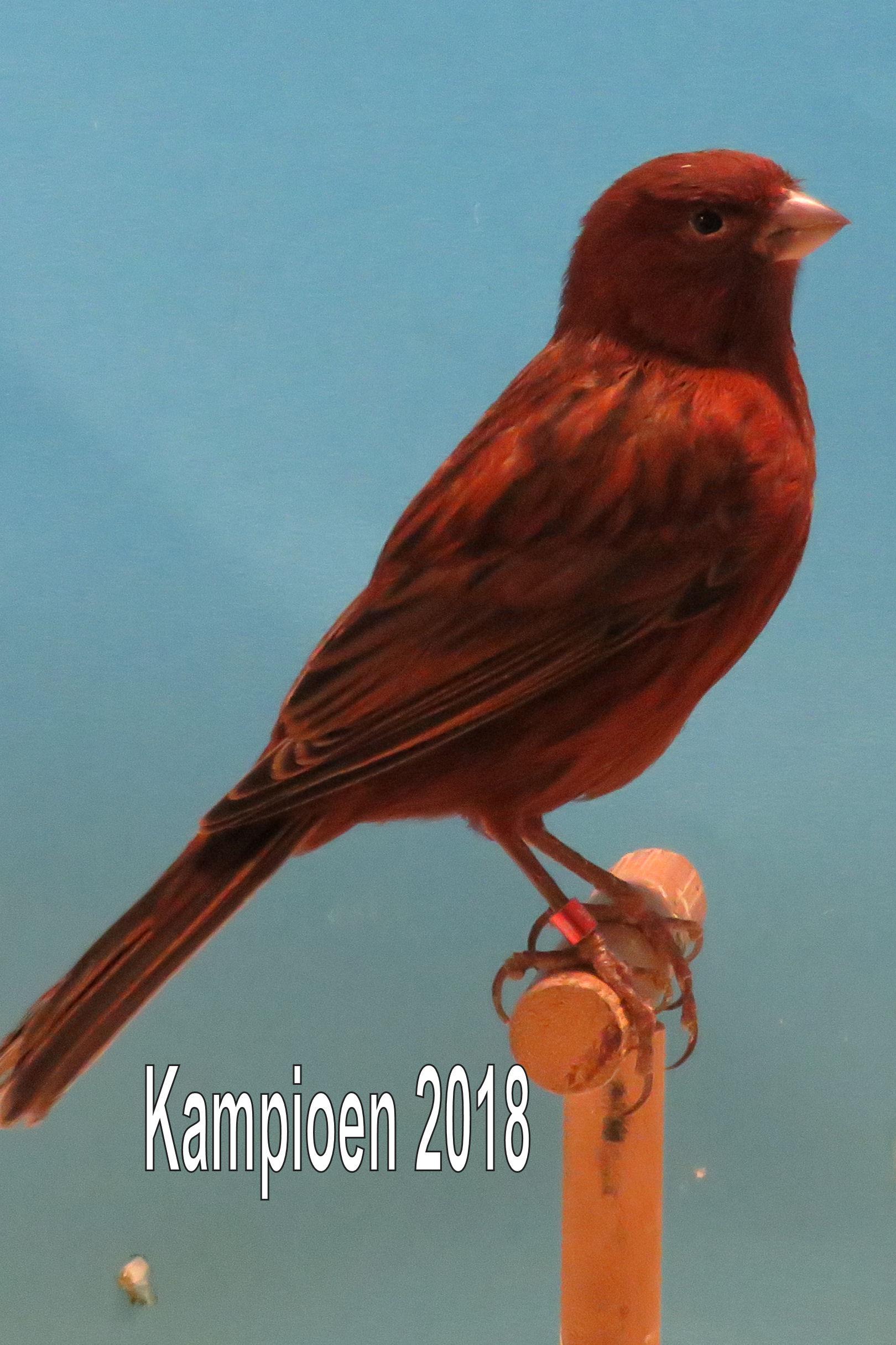 VogelvreugdBeckum2018 zwart rood