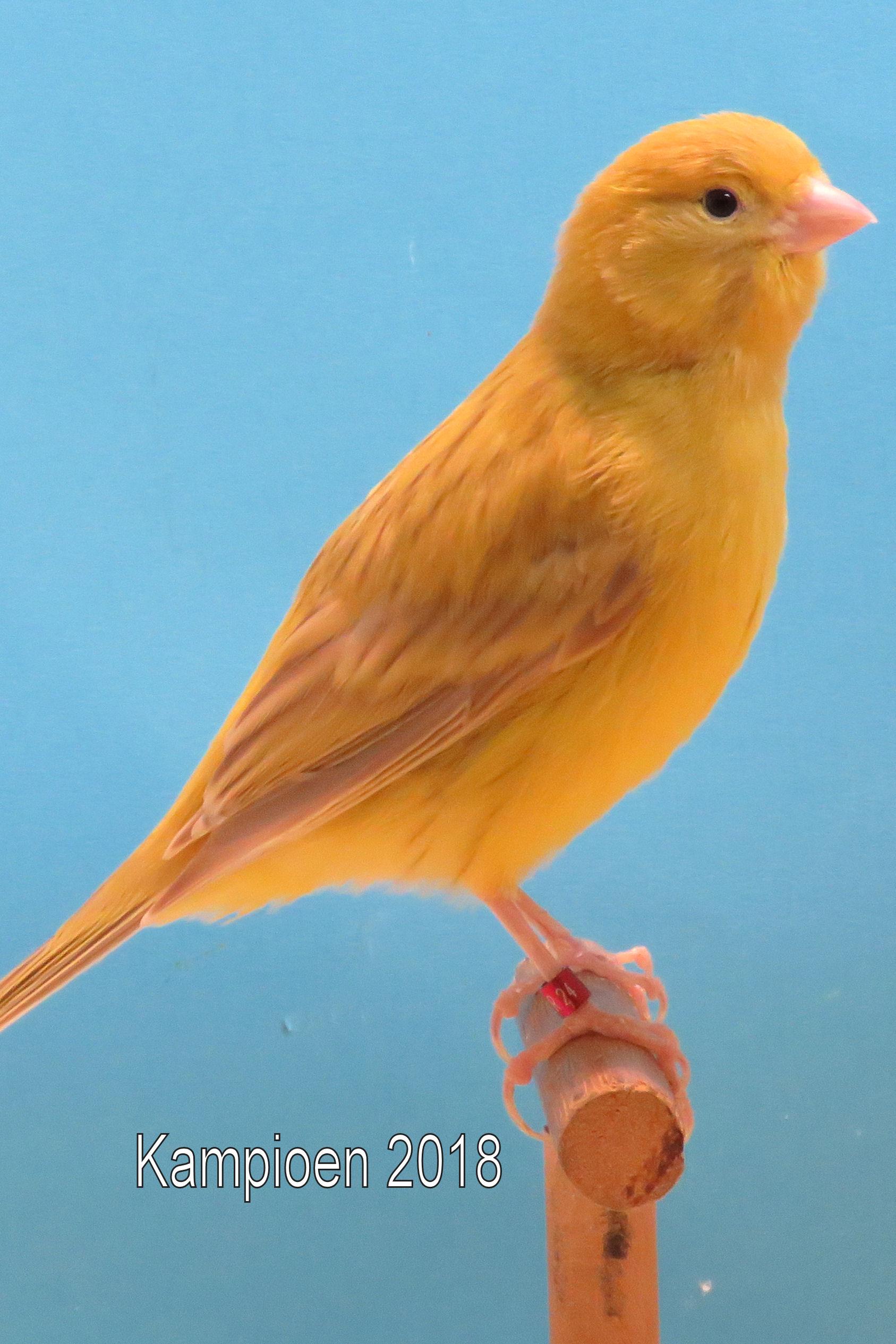 VogelvreugdKampioen2018 geel isabel